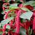 Acalypha Plant